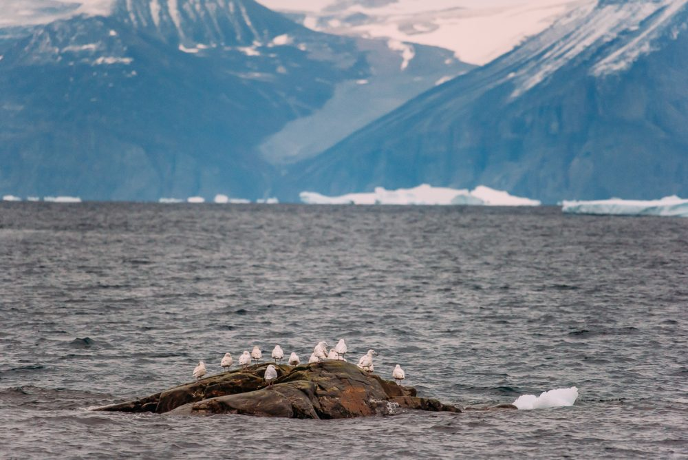 Arctic Animal Sightings Onboard Ocean Endeavor