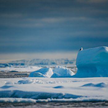 Arctic Animal Sightings Onboard Ocean Endeavor